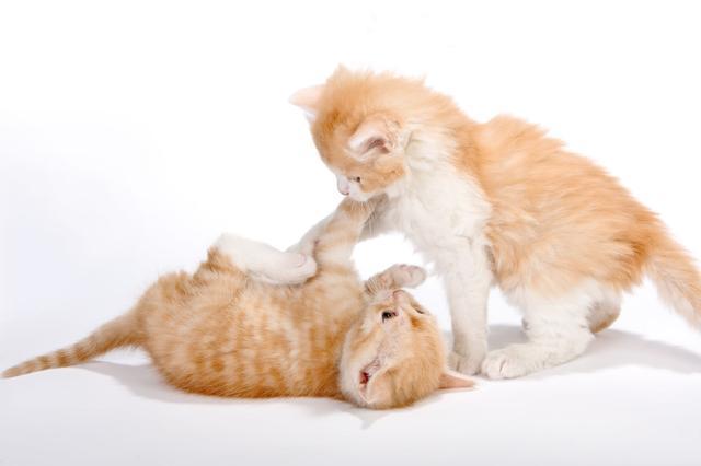 猫究竟是在玩耍照样在打架?分清之后,铲屎官就知道何时应该干预