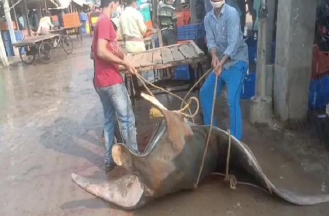 印度渔民捕获罕见怪鱼,形如飞船重达800公斤,价值数十万