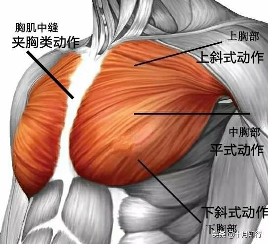 如果練出漂亮胸肌?6個動作,把胸肌練厚練飽滿,塑造自然胸型