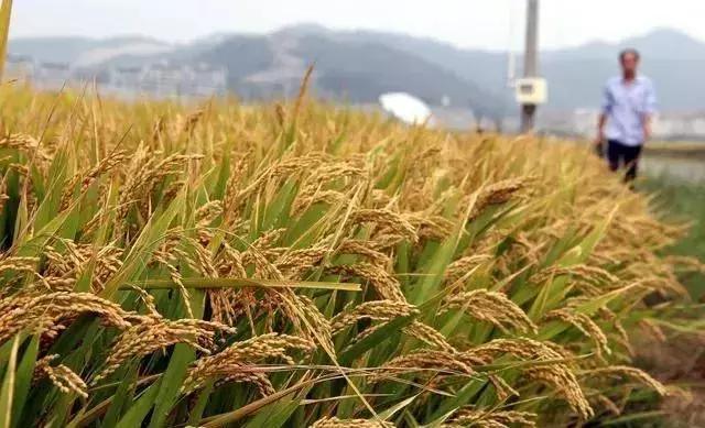 水稻种植全过程