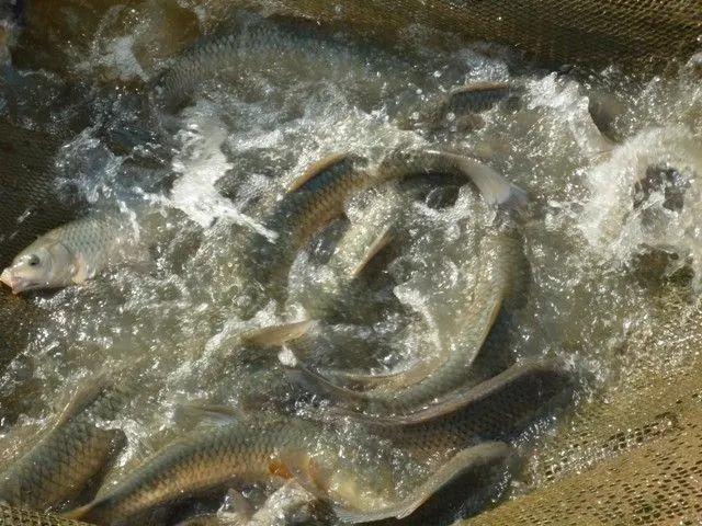 提高草鱼品质的高效循环水养殖技术