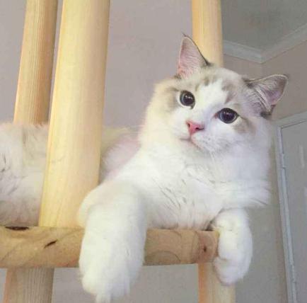 猫咪在家里上蹿下跳,这是天性使然,铲屎官可千万别去改变它们-第5张图片-深圳宠物猫咪领养送养中心