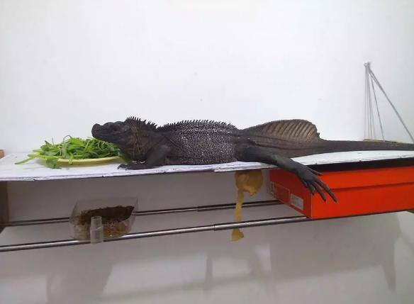 天禧运营客户案例:走进奇特的蜥蜴世界——安汶斑帆