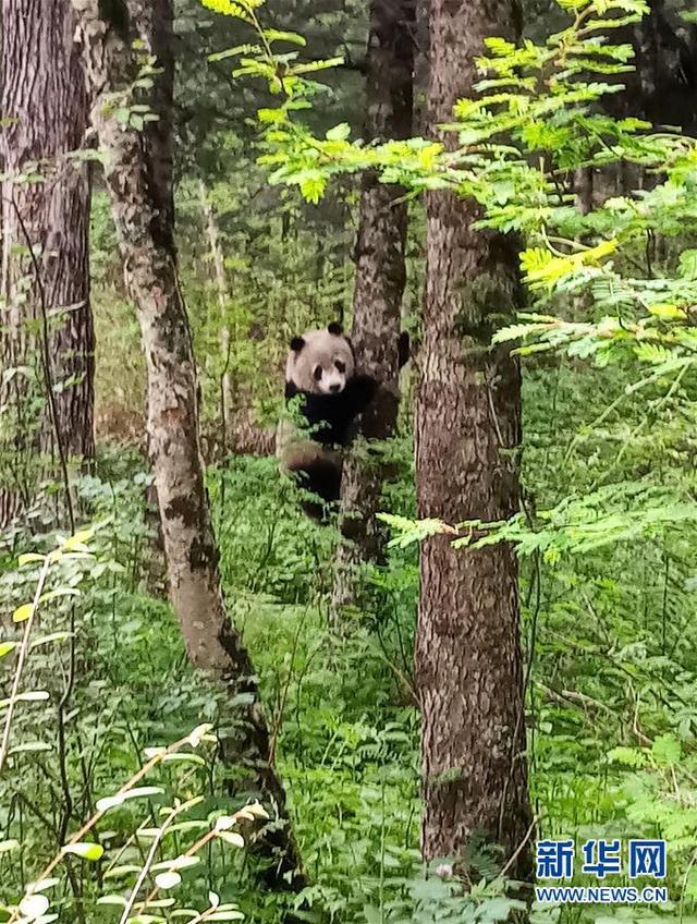 秦岭主峰太白山冰凌沟再现野生大熊猫