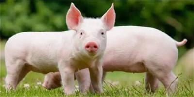 牛猪压栏已成共识,涨价和风险同步上升