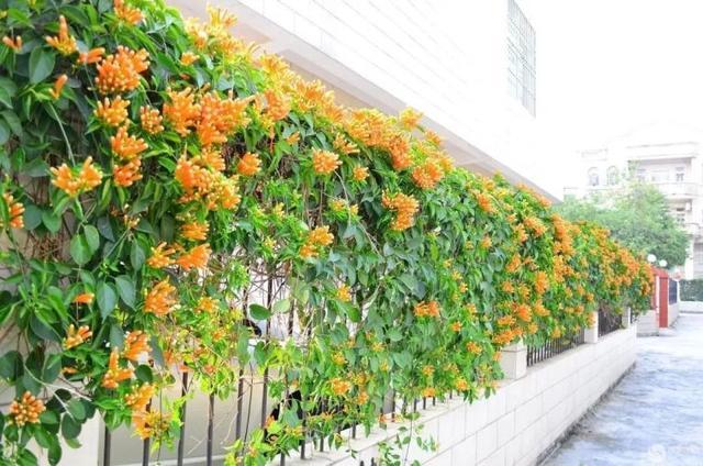 藤花好颜色|藤本植物的花墙梦,常用14种