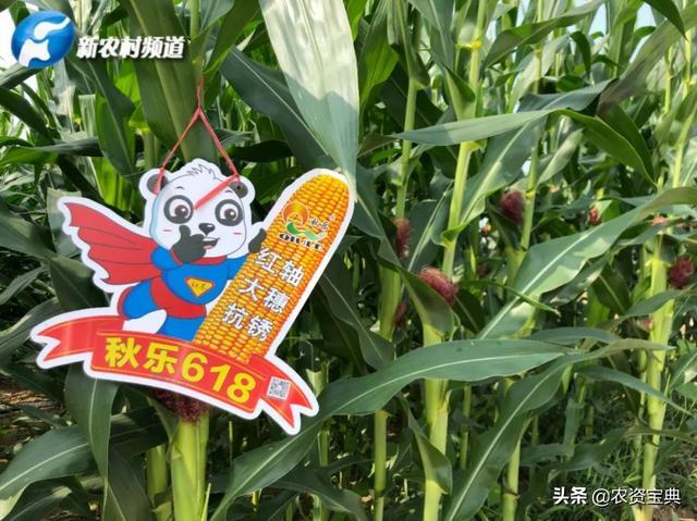 """霸王根系配双穗,""""双料""""玉米惊艳周口,经销商说优秀是常态"""
