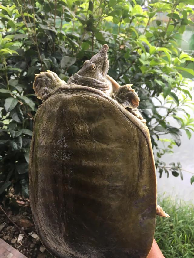 商品龟鳖养殖技术