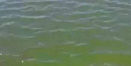 似曾相似的两种藻类:容易将裸藻和蓝藻混淆!说一下裸藻的特性