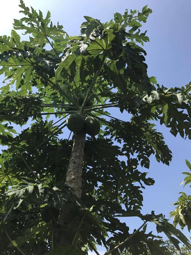 我的关键词 南方有一棵木瓜树林钊羽  新闻