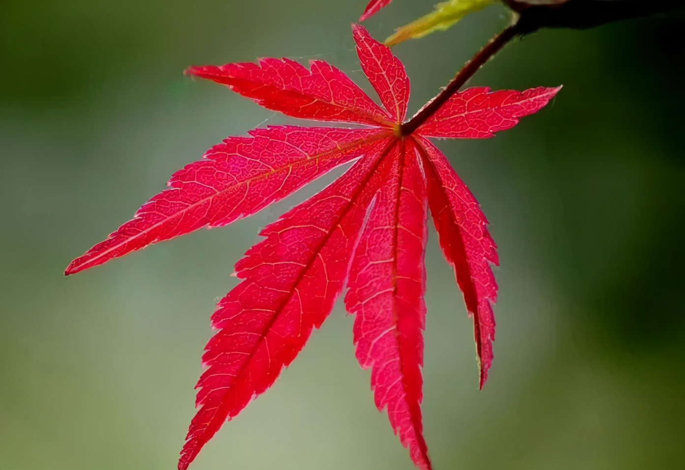 日本紅楓、美國紅楓、中國紅楓這樣區分,不再臉盲
