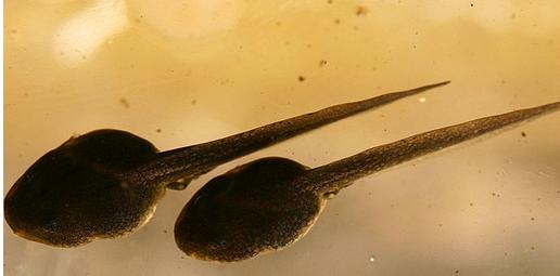蝌蚪吃什么 教你怎么养蝌蚪