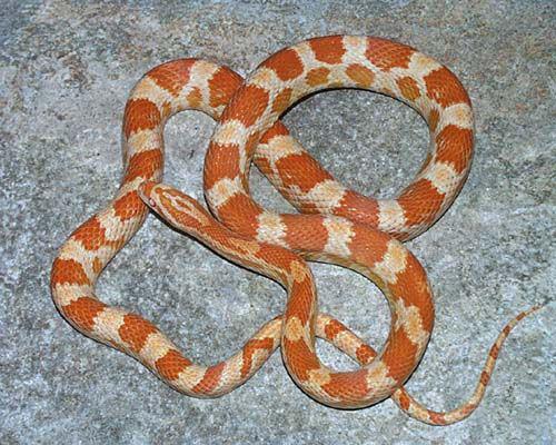 玉米蛇,在一条不寻常的道路上游走