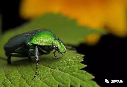 干货 常见园林虫害识别与防治方法! 园林病虫防治 第15张