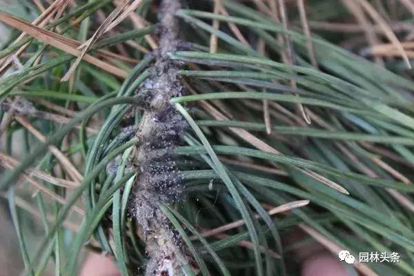干货 常见园林虫害识别与防治方法! 园林病虫防治 第2张