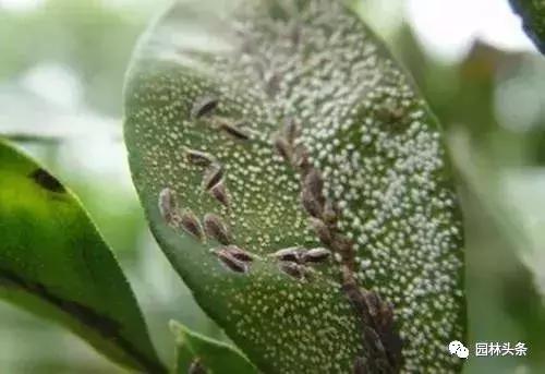 干货 常见园林虫害识别与防治方法! 园林病虫防治 第4张