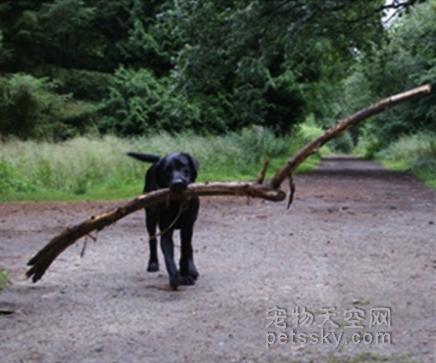 20張狗狗叼樹枝的搞笑照片 讓主人笑到肚子疼