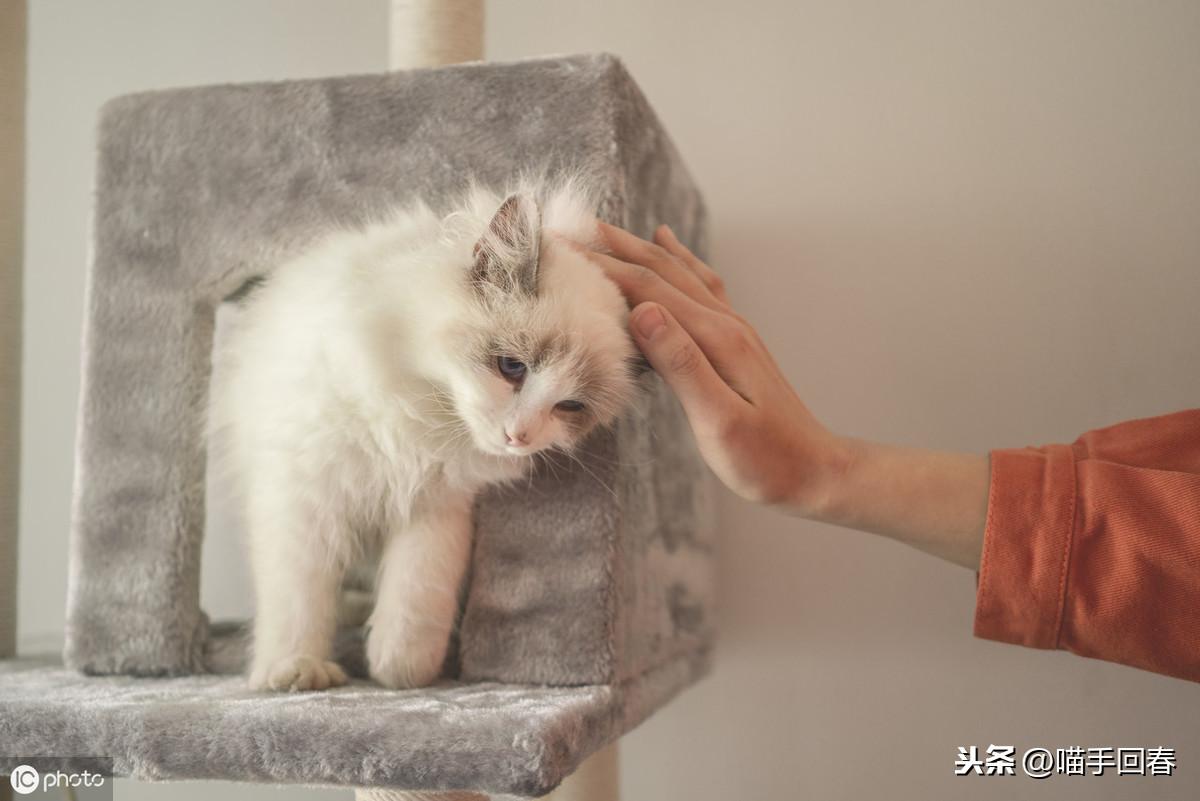 貓咪經常舔舐尿道口?敲黑板!鏟屎官要時刻警惕貓咪尿路結石