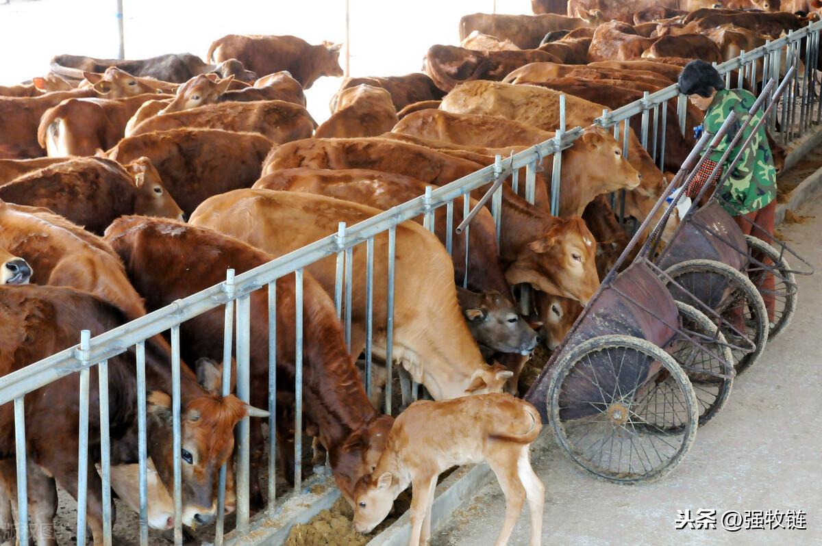 �@�咏��B牛大棚,成本�旱搅俗畹�,�B牛���效益至少高一倍