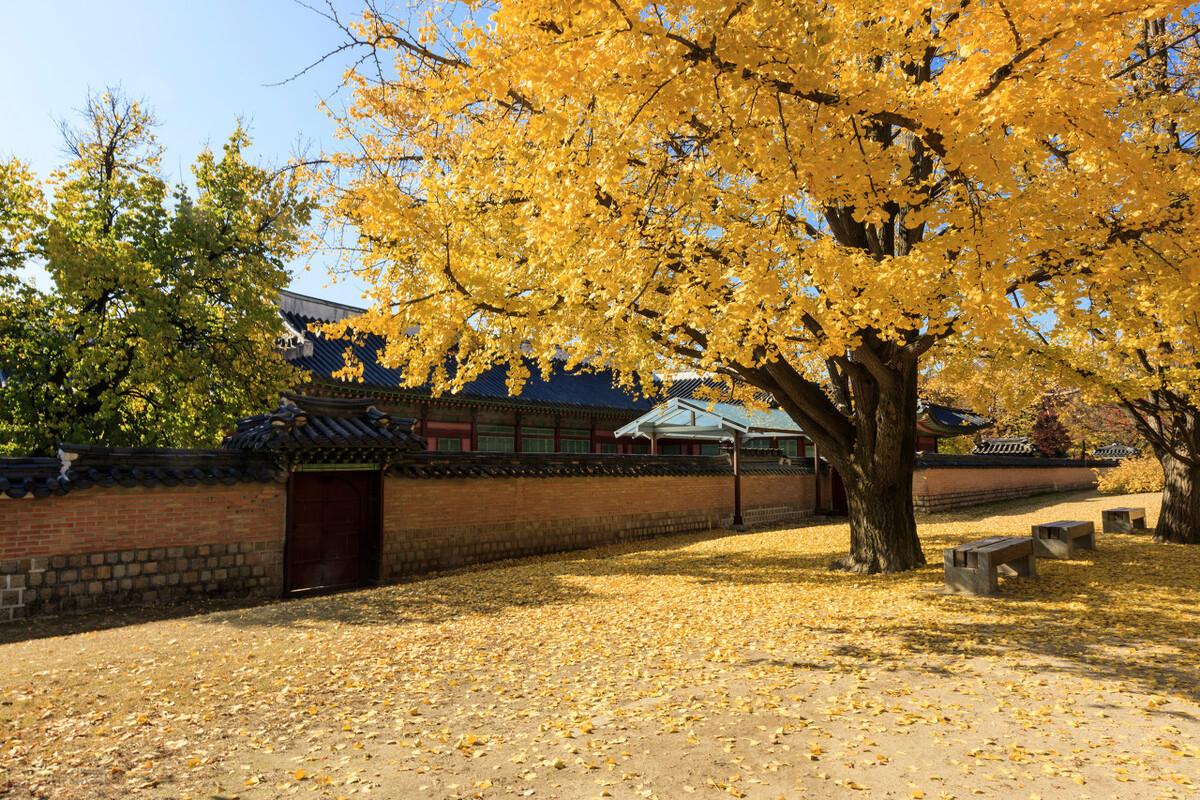 散文 银杏树黄了