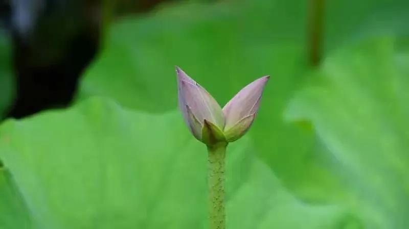 """花开并蒂!济南大明湖发现""""并蒂莲"""""""