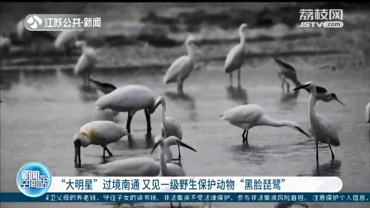 """""""大明星""""过境南通!又见一级野生保护动物黑脸琵鹭"""