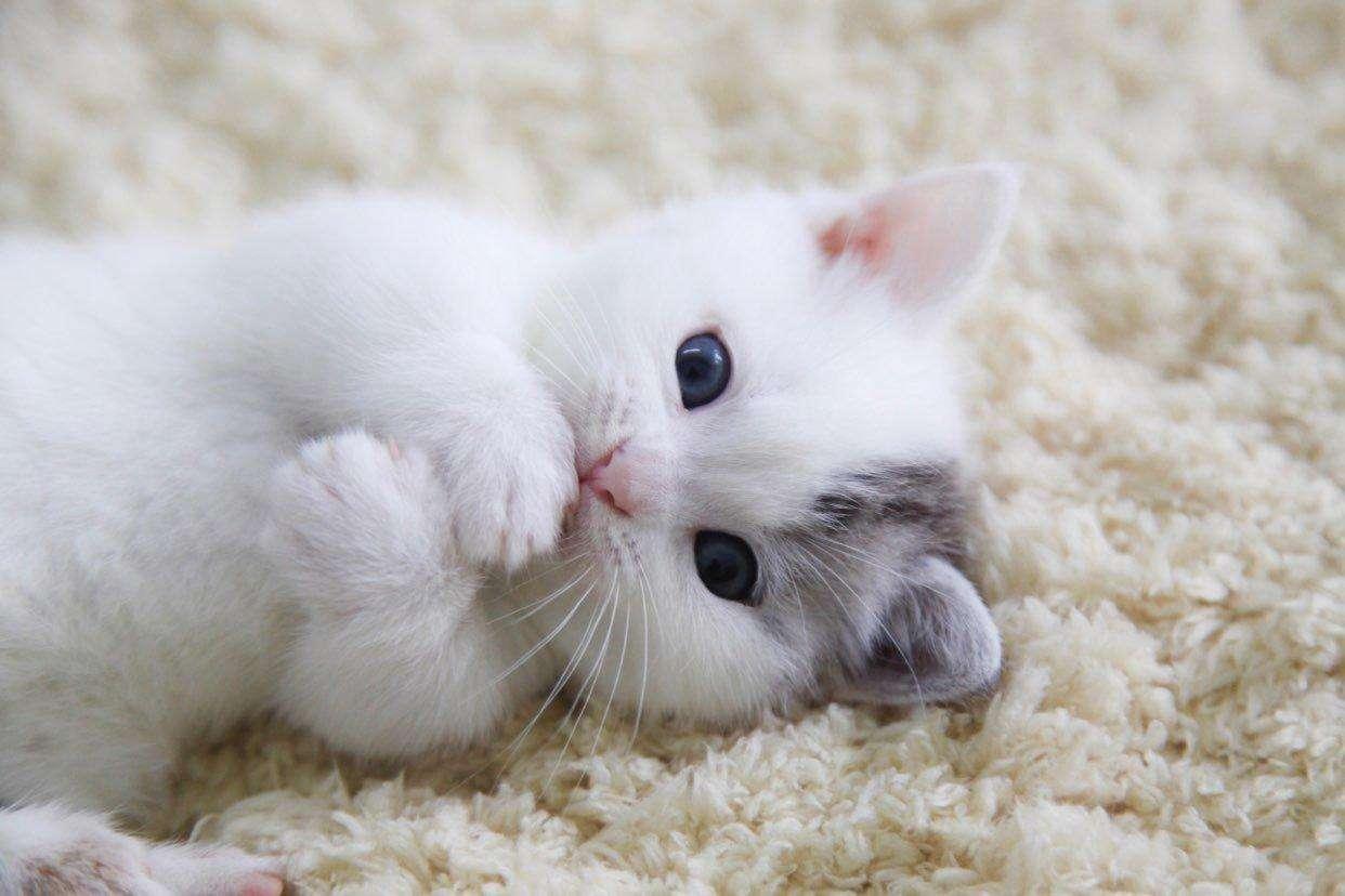矮脚猫的5大缺点,能忍受超过3条以上,你才适合养它