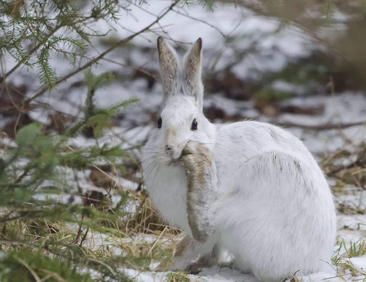 兔子軟萌的外表下,也有一顆吃肉的心,甚至會吃腐肉
