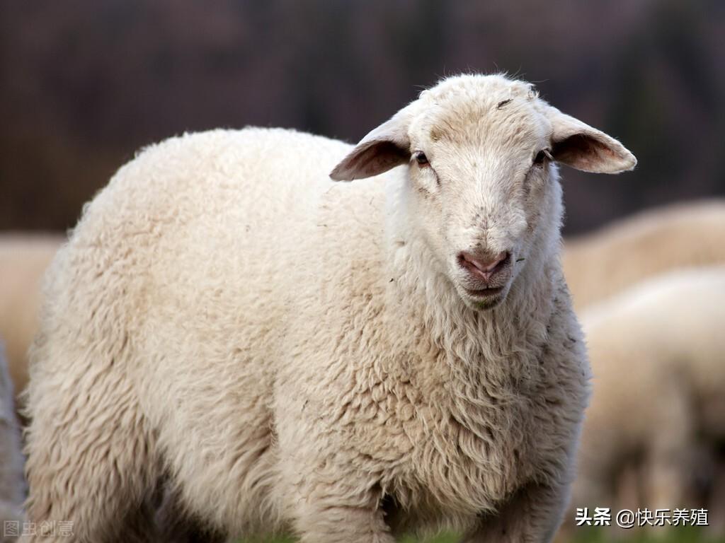 公羊存在问题(母羊存在问题)