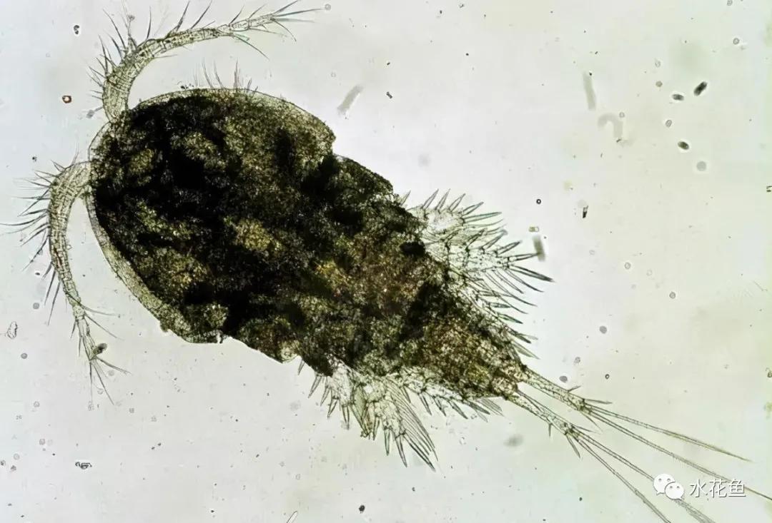 浮游动物与水产养殖:不能多也不能少,保障水生态系统的生物平衡