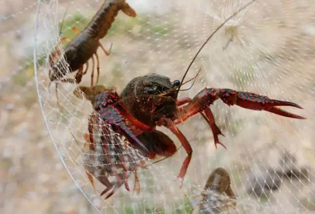 合肥钓小龙虾超全攻略来了!速速收藏