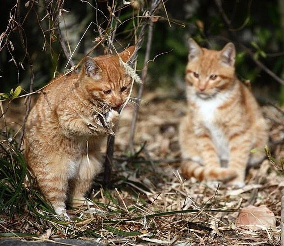 貓咪發情時我們應該怎麽辦?大掌櫃帶你了解貓咪的發情期!
