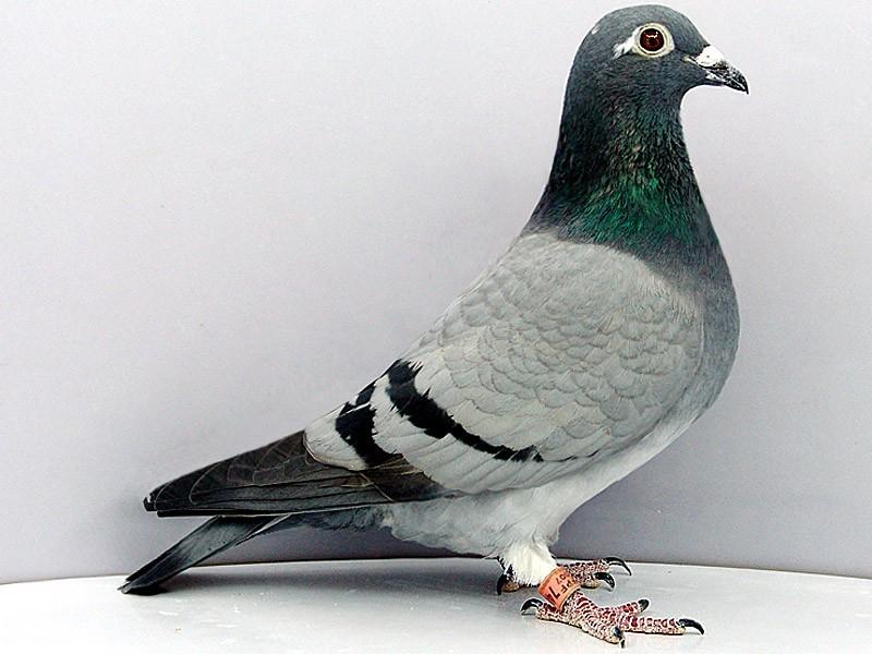 鸽子耻骨变化说明什么问题