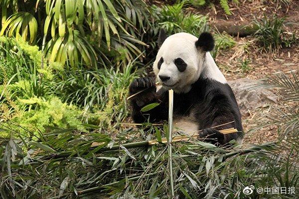卡尔加里动物园:旅加大熊猫有竹子吃了