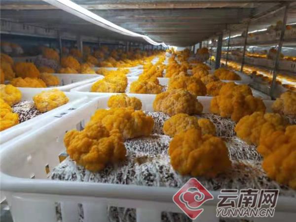 日产量一吨!国内首个工业化栽培食用菌雷竞技最新版下载在云南获得成功