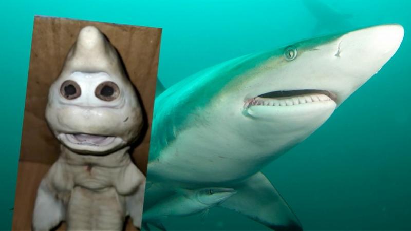 """鲨鱼宝宝面部似人脸!印尼渔夫从母鲨体内剖出""""变异""""幼鲨"""