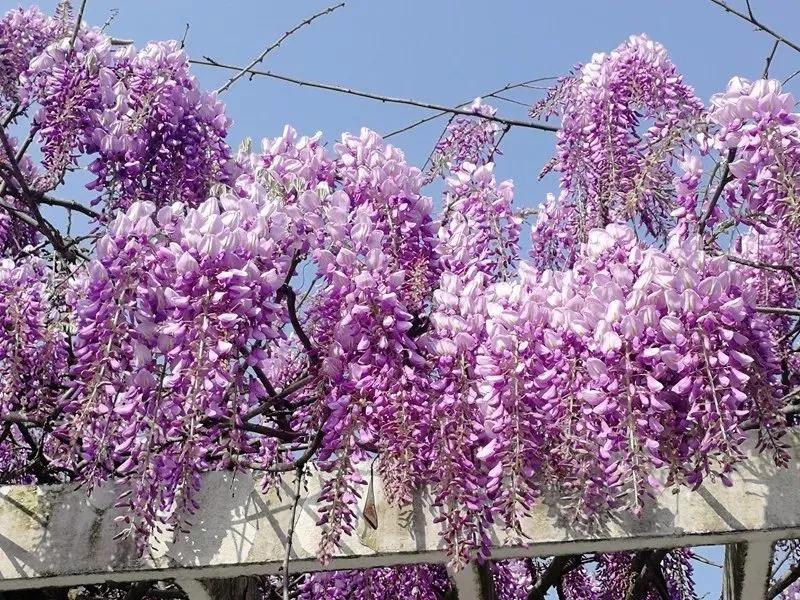 最美人间四月天,闵行赏春指南