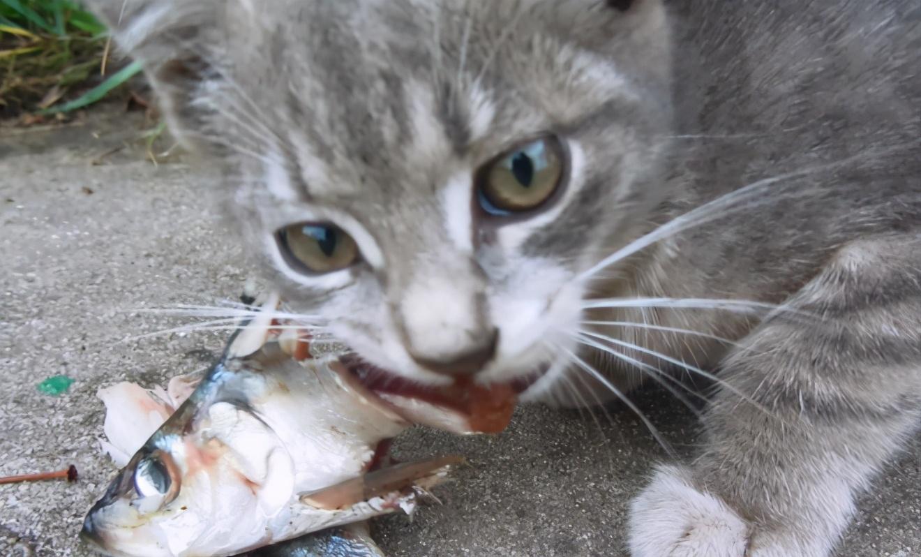 为什么野生动物吃鱼很少被卡住?它们有特殊的技巧吗?