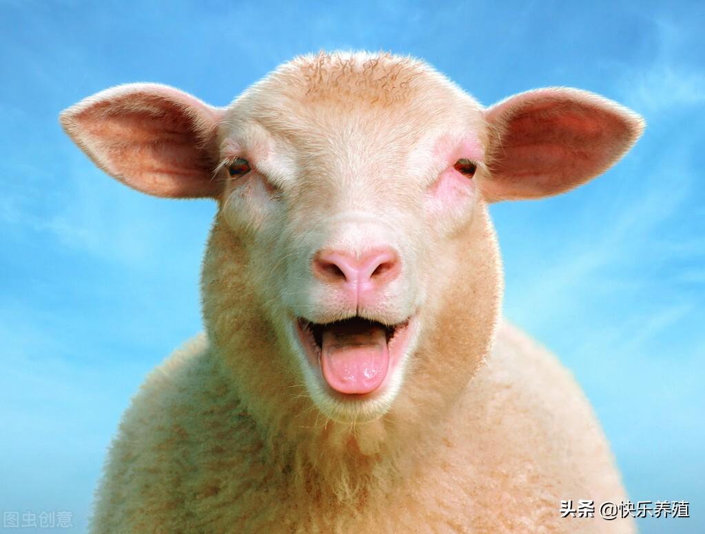羊菌病的症状(羊病的症状)