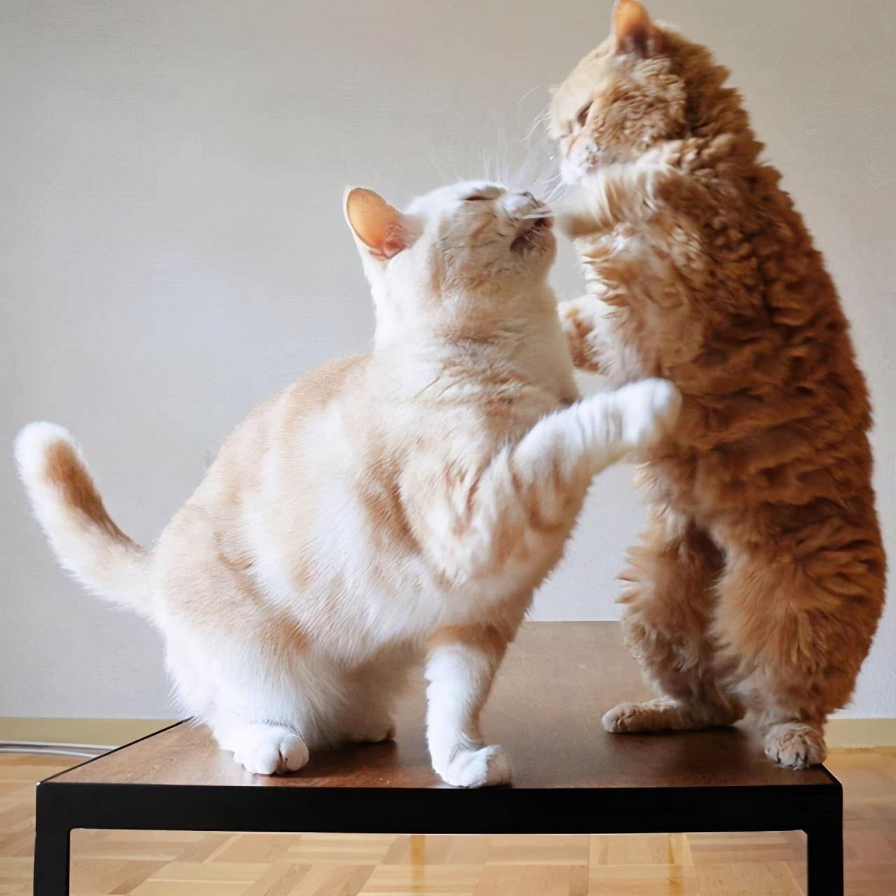 日本网友家,养了两只猫,日常打架的相处模式,萌化了
