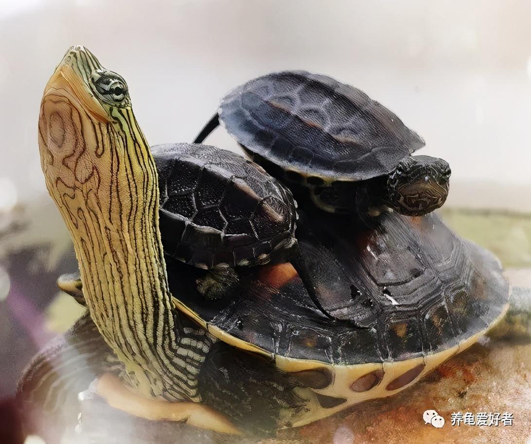 龜是否好養,能不能養住,和它的來源大有關系