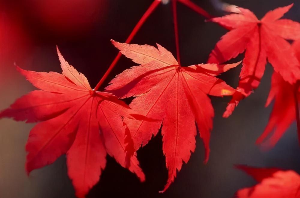 日本红枫、美国红枫、中国红枫这样区分,不再脸盲